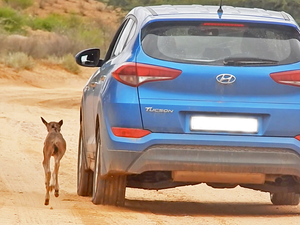 Wildebeest Calf Thinks this Car is Its Mother (Happy Ending)
