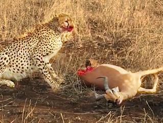 Half an Impala Tries Escaping Cheetah