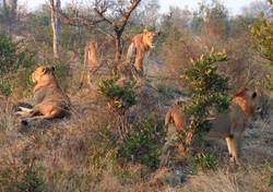 Mjejane Reserve - Pride of Lions