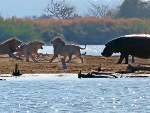 3 Male Lions Attacking Another Lion Get Interrupted by Elephants and Hippos