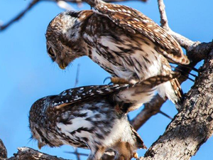 Mating Pearl-Spotted Owls