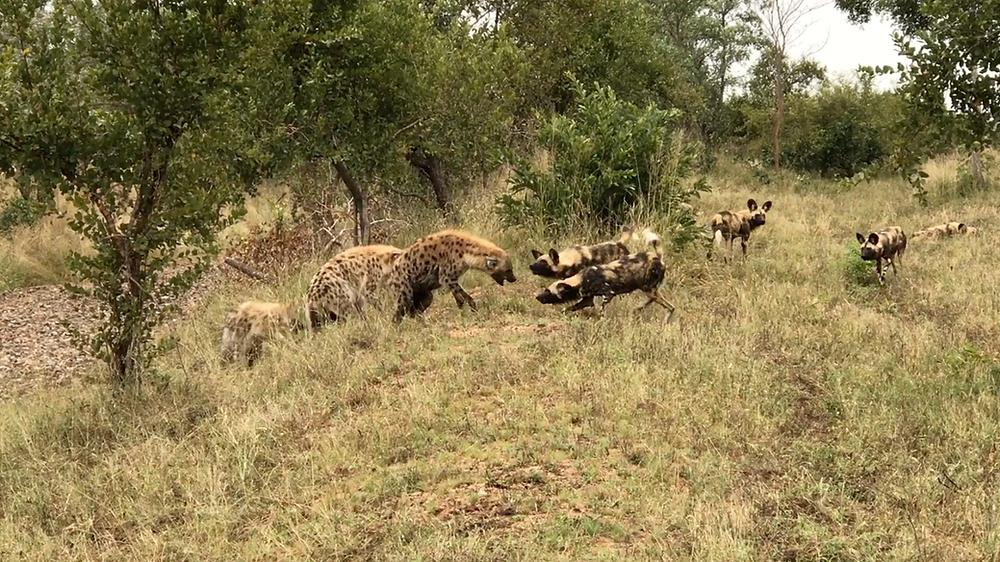 Wild Dog & Hyena Punching Match - Kirkmans Kamp
