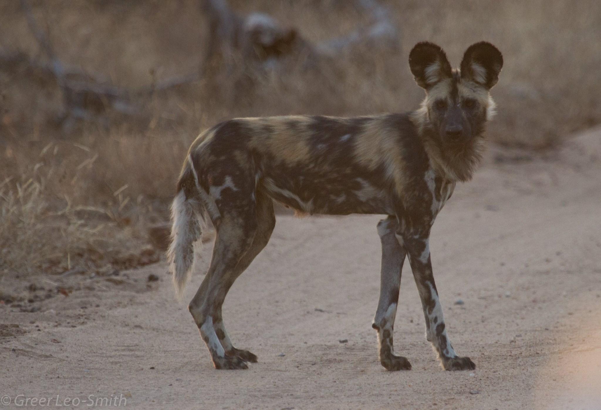 Wild Dogs on Leadwood Estate