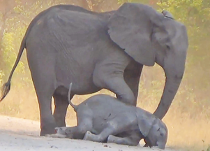 Elephants Desperately Try Bring Dying Calf Back to Life