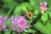 bumblebee-2523040_1920.jpg