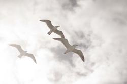 seagulls  001