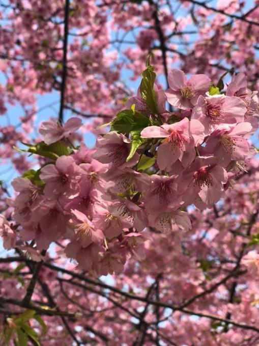 Sakura Kawazu closeup!.jpg