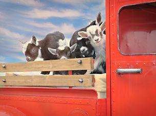 Goats in truck.jpg