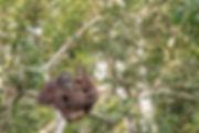 orangutan LIGHTEN.JPG