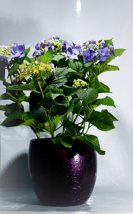 Ortensia Azul (encargo Enma)