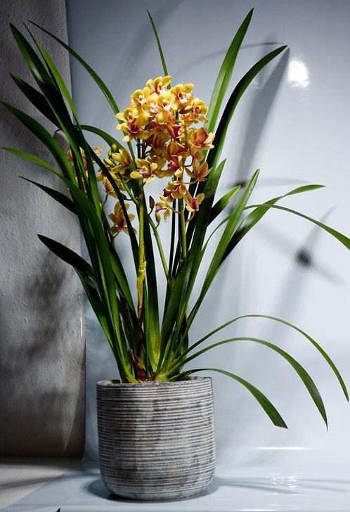 Cymbidium orquídea AMARILLA ROSADA