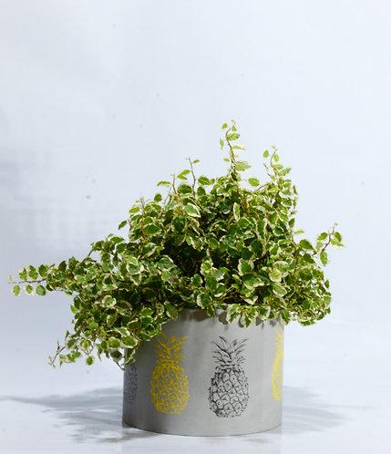 Ficus repens en caja de madera de papel redonda