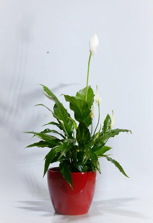 Spathiphyllum MACETA CERAMICA ROJA
