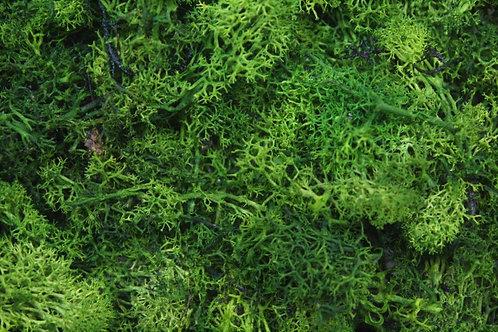 Dark Green Lichen - 50g
