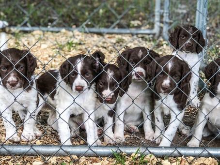 Springer Puppies!!