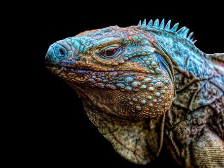 The Blue Iguana of Grand Cayman