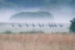 żurawi