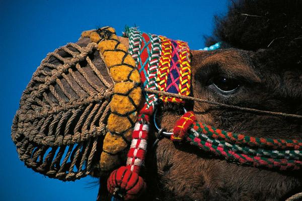 Winter camel wrestling matches