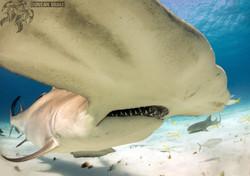 Filming a Great Hammerhead Shark