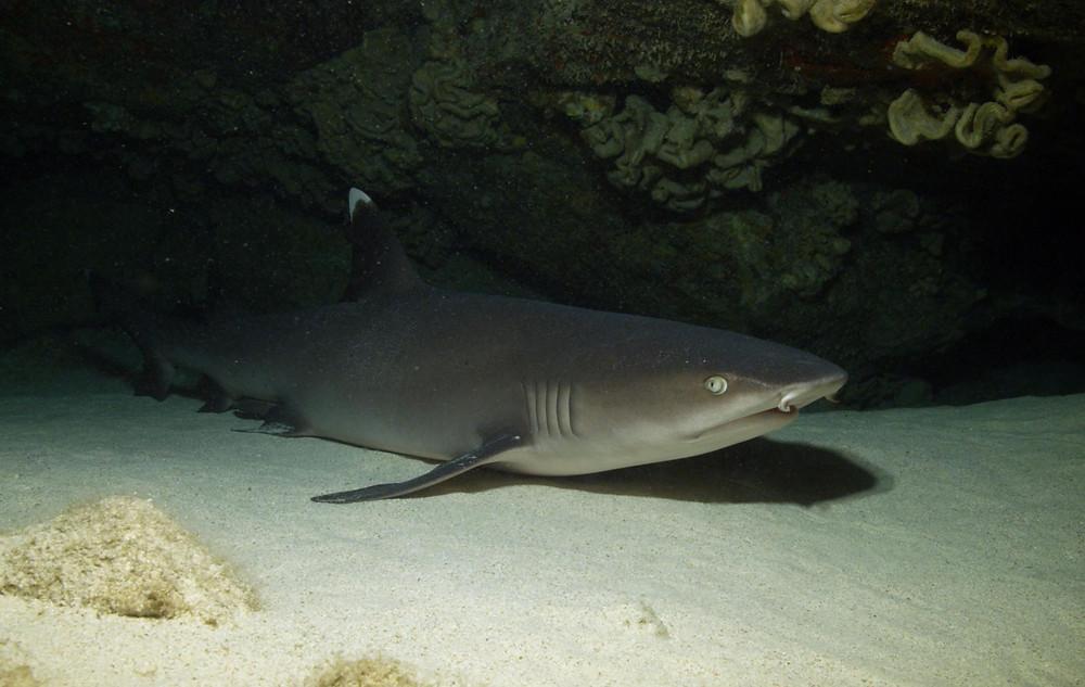 Underwater videographer Duncan Brake films a White Tip Reef Shark