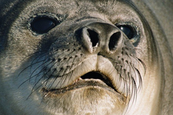 A female Southern Elephant seal