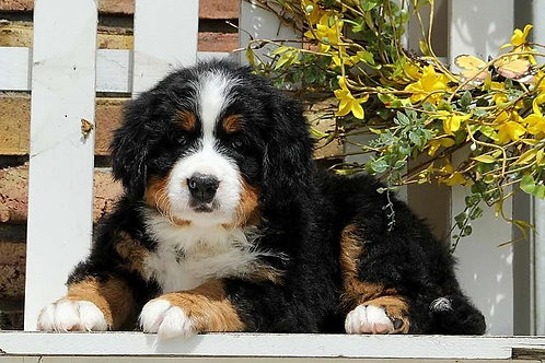 BerneseMountain Dog