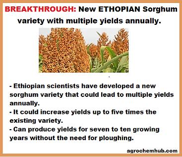 ethopian sorghum.png