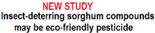 sorghum1.png
