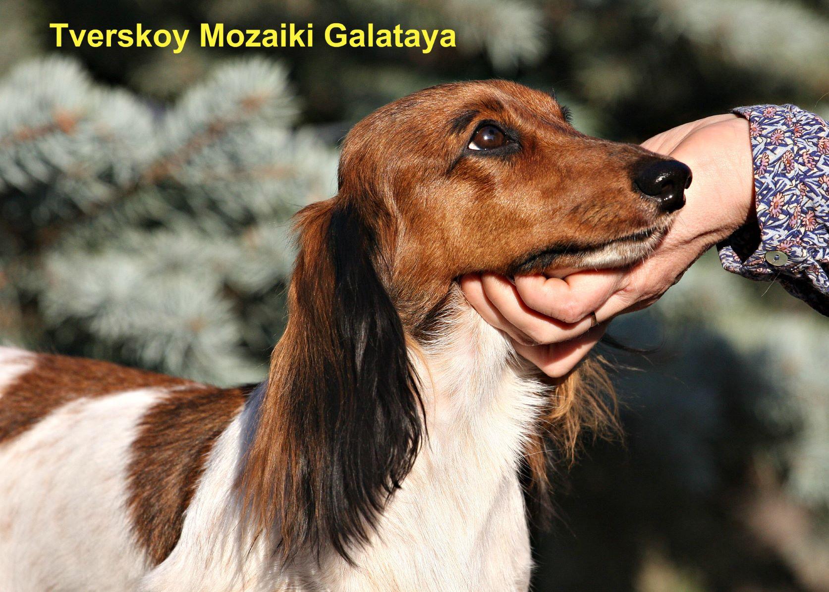 Tverskoj Mozaiki Galateya