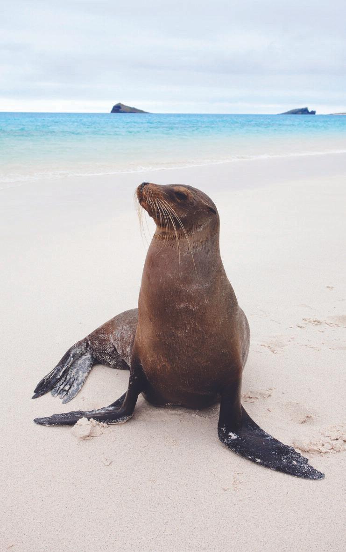 alápagos sea lion