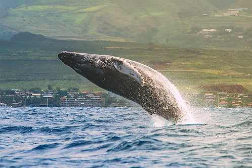 Golden Hour Whale Breach