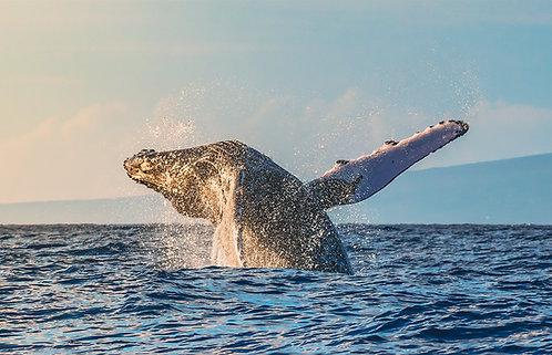 Maui Whales at Sunrise