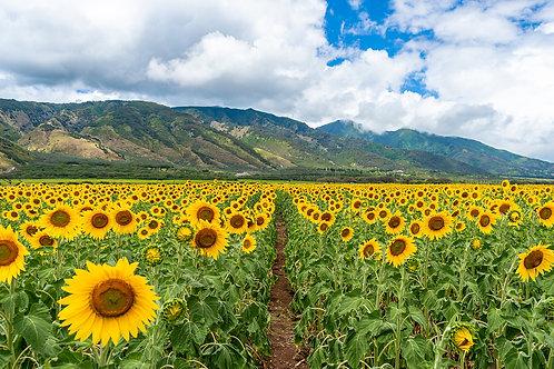Maui Sunflowers