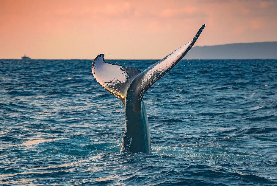 Humpback-Whale-Tail-Sunrise-Fine-art-photography-hawaii-web-opt.jpg