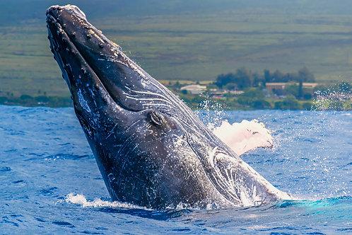 Close Whale Breach