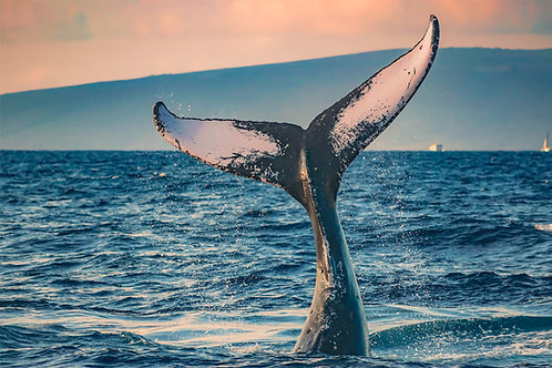 Humpback Whale at Sunrise