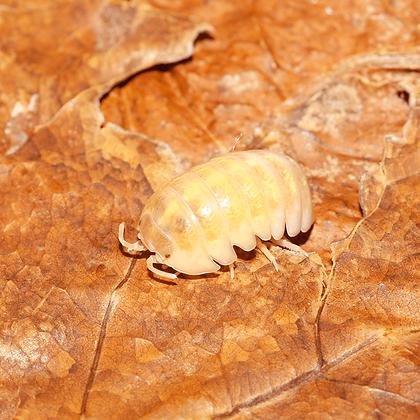 """Armadillidium sp. """"Albino"""" 12u"""