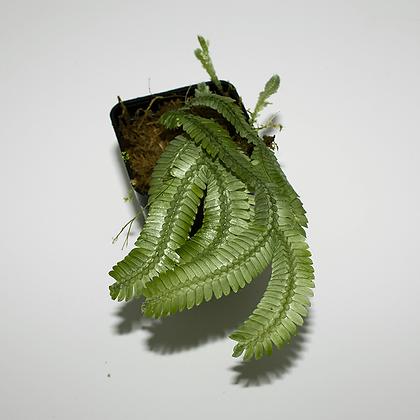 Selaginella Speciosa