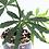 Thumbnail: Anthurium Polyschistum