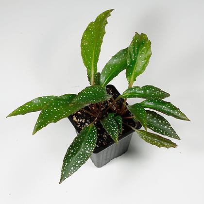 Begonia cf. Rhizocarpa