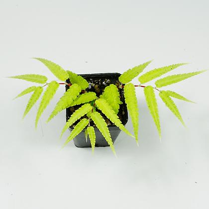 "Begonia Pteridiformis ""Green"""