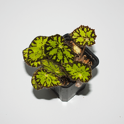 Begonia Persian Brocade