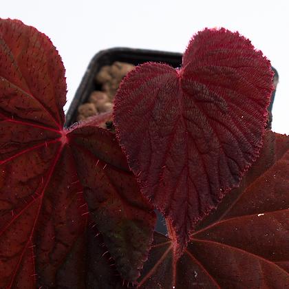 Begonia Lugonis