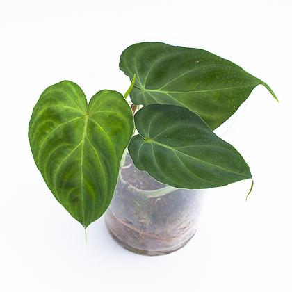 Philodendron Verrucosum ´Mindo´