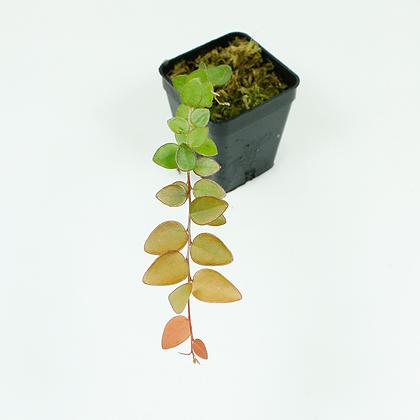 Sphyrospermum Buxifolium