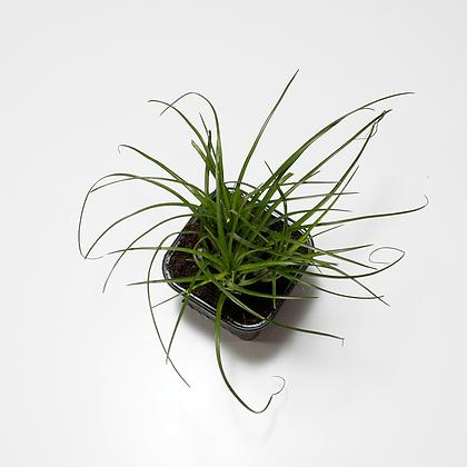 Vriesea Correia-araujoi