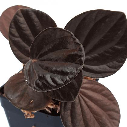 Peperomia Rugosa