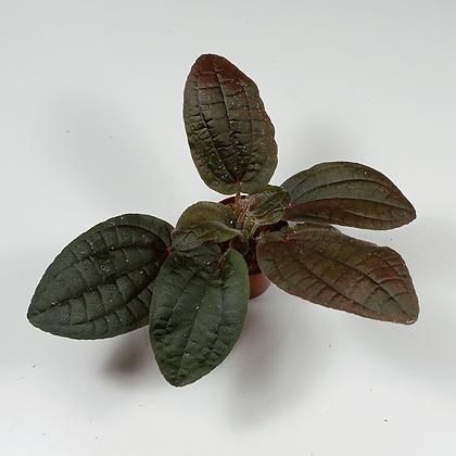 Bertolonia Violacea