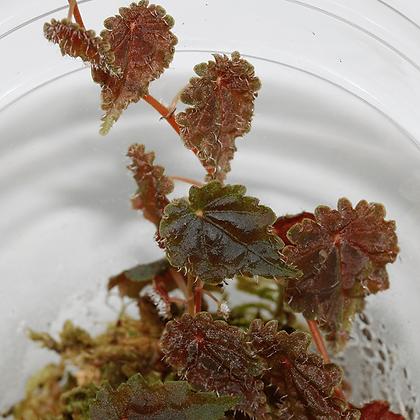 Begonia Dodsonii
