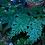 Thumbnail: Selaginella Willdenowii